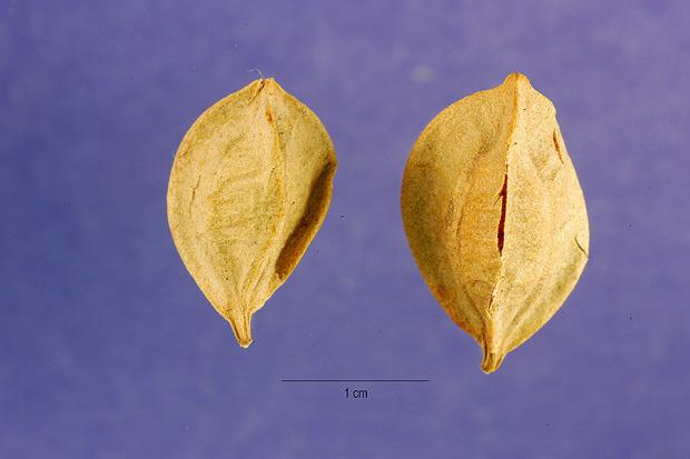 Sessile Leaf Bellwort 73633 Sessile Leaf Bellwort