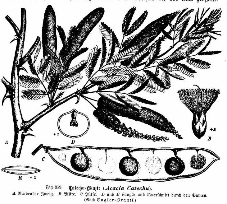 Acacia catechu,