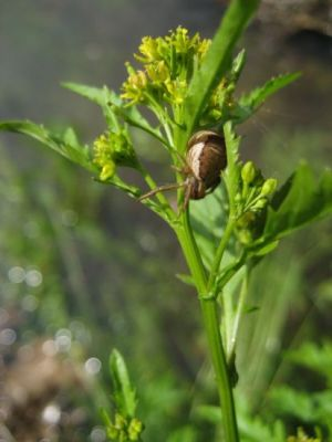 Rorippa palustris -