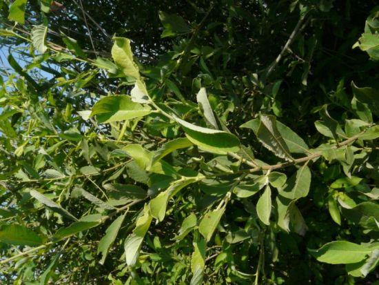 Salix cinerea specie della flora italiana - Tipi di giardino ...