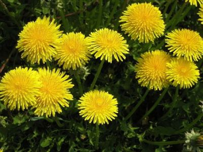 Taraxacum officinale (group)