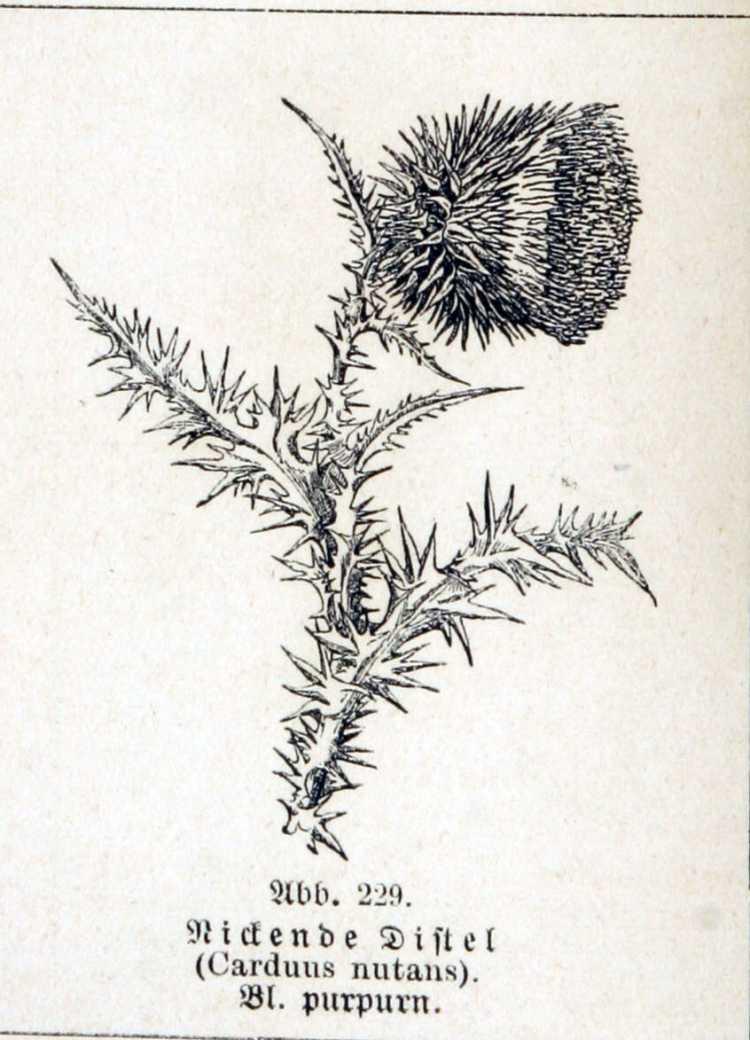 carduus marianus uses