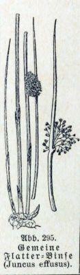 Juncus effusus