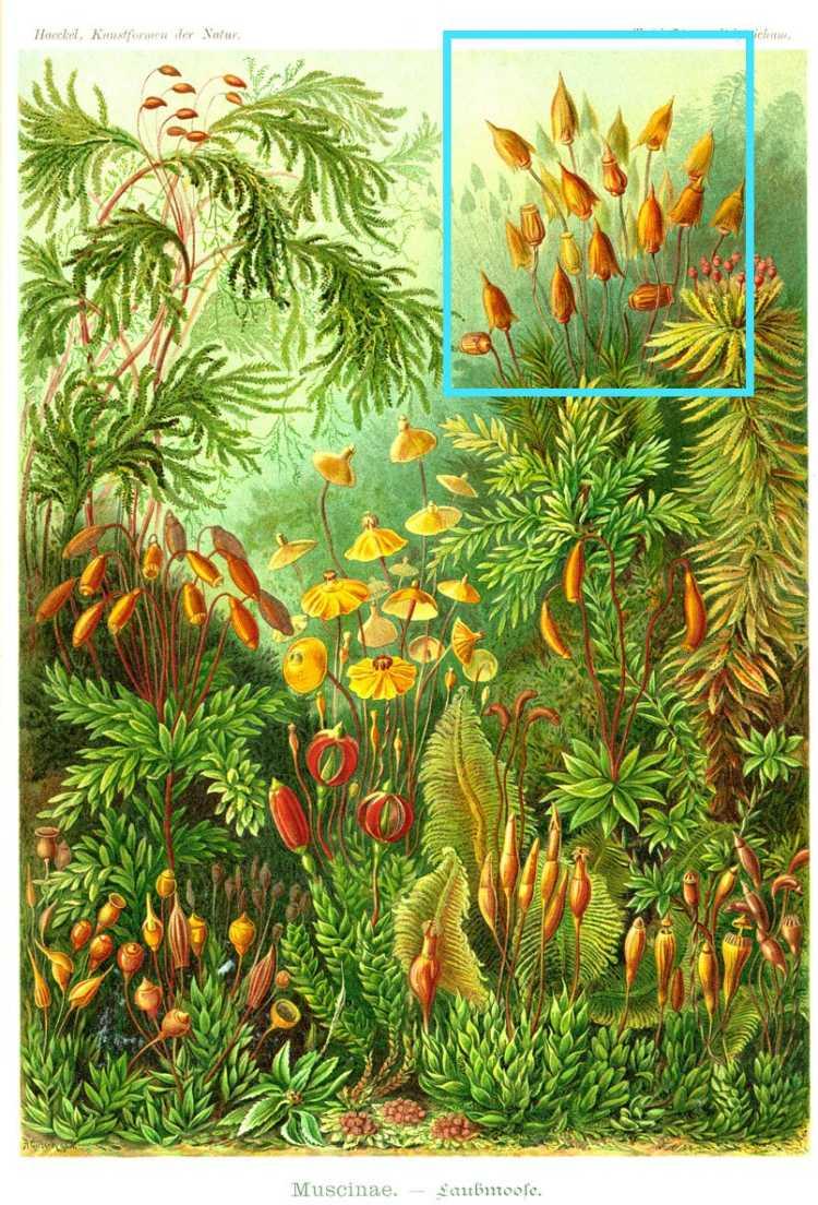Polytrichum Commune Hedw