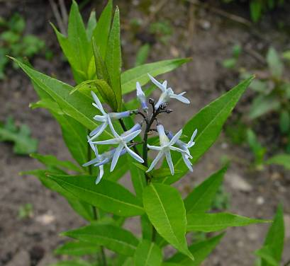 Amsonia Illustris Usda Amsonia Illustris Photo