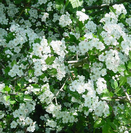 Crataegus laevigata,