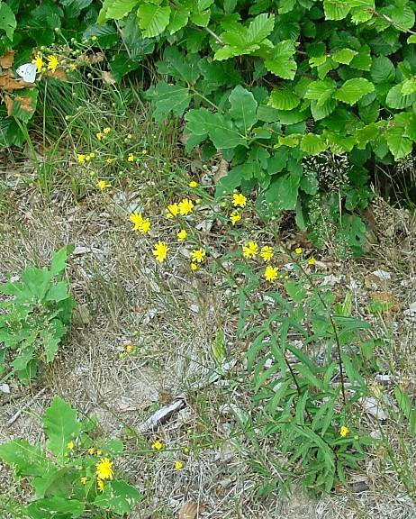 Hieracium umbellatum,