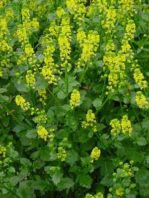 Barbarea vulgaris -