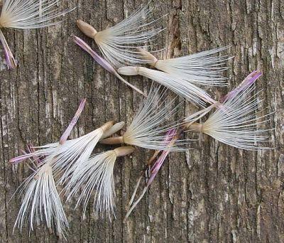 Carduus crispus