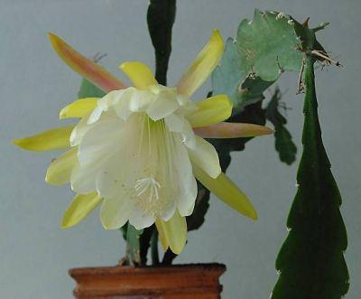epiphyllum gardenia