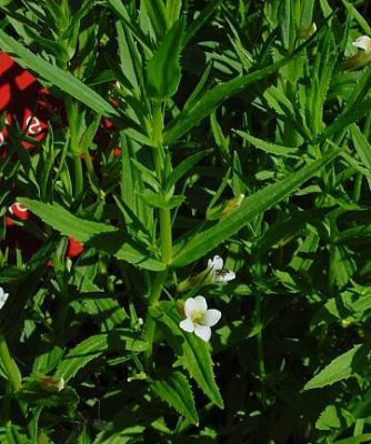 Gratiola officinalis -