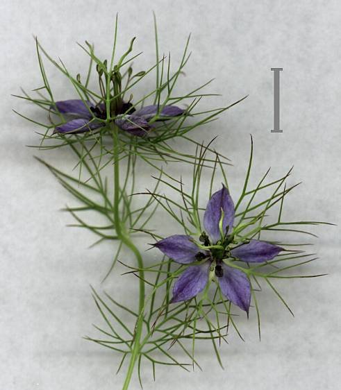 Nigella damascena,