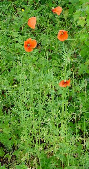Papaver dubium,