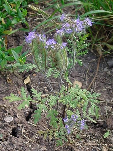 Phacelia Tanacetifolia Specie Della Flora Italiana