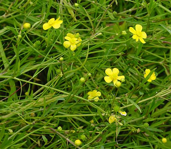 Ranunculus flammula,