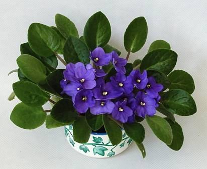 African violet 212771 common name saintpaulia ionantha - Plantas ornamentales de interior ...