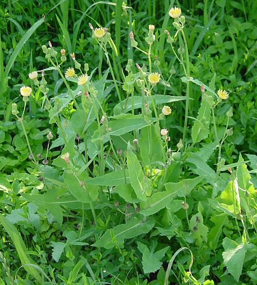 Sonchus oleraceus -  annual sow thistle - annual sowthistle - Cardedda - cerraja - cerraja común - chicória-brava - common sow thistle - common sow-thistle - common sowthistle - Grespino comune - hare's-lettuce - Kohl-Gänsedistel - laiteron maraîcher - pualele - serralha-lisa - serralha-macia - sow thistle - sow-thistle - Sowthistle - Tufty Thistle -