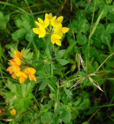 Lotus corniculatus