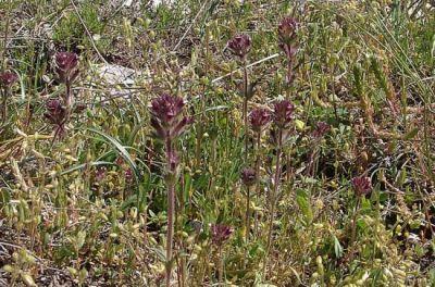 Parentucellia latifolia