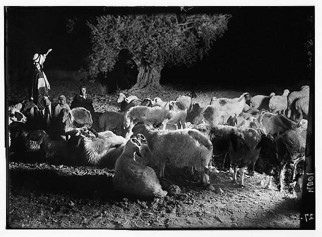 Premise Indicator Words: Agriculture, Etc. Shepherd Scenes. Sheep At Night