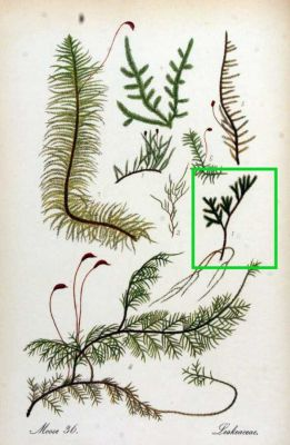 Pterogonium gracile