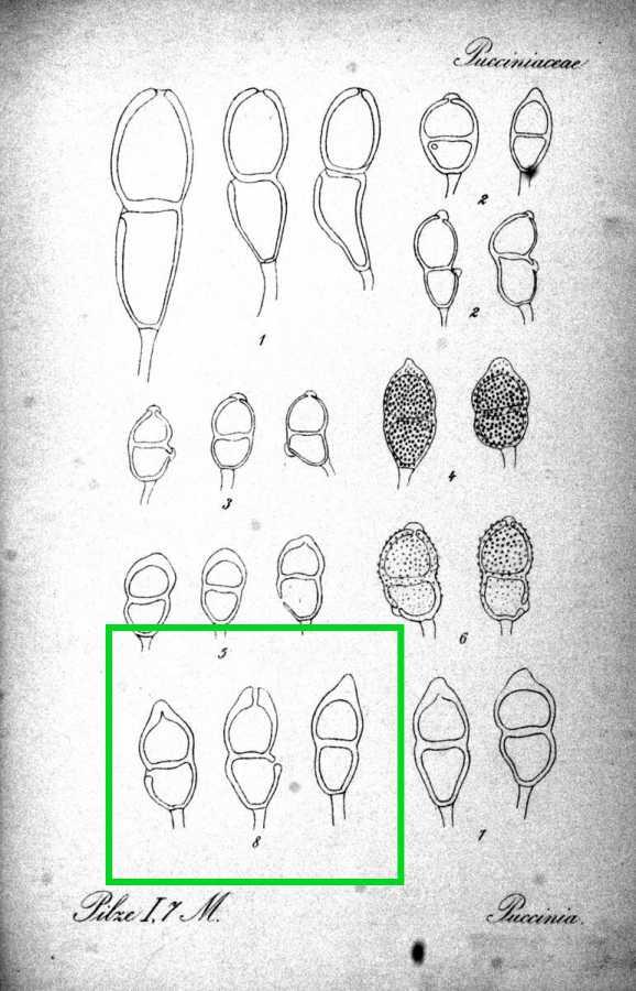Puccinia Malvacearum