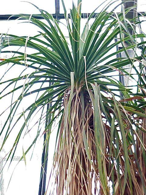 Beaucarnea recurvata lem bottle palm for Beaucarnea recurvata