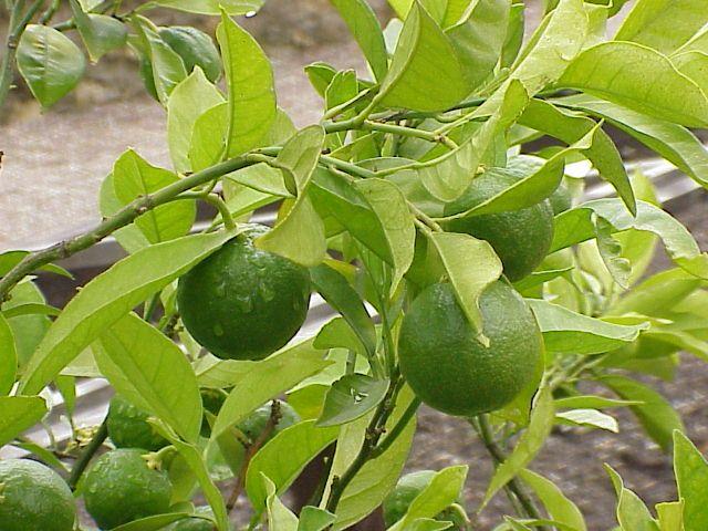 Citrus Sinensis Distribution Citrus Sinensis l Osbeck