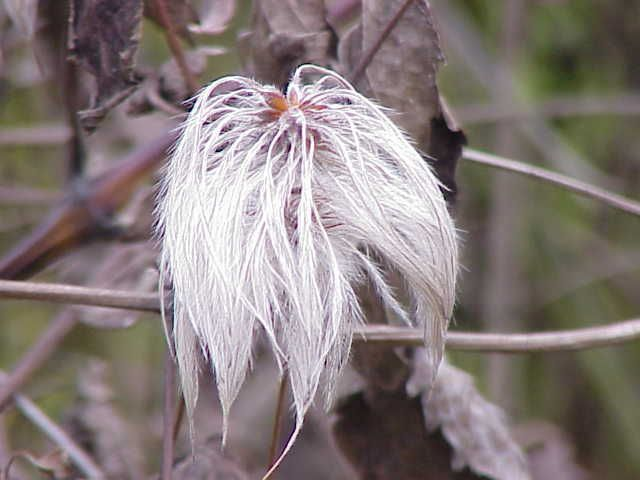 Clematis fargesii