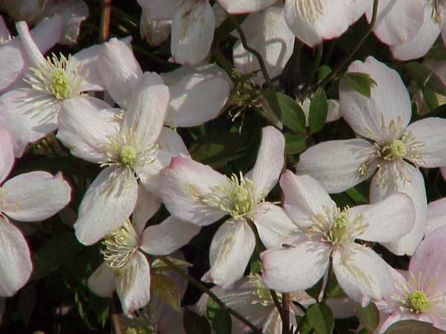 Clematis montana rubens