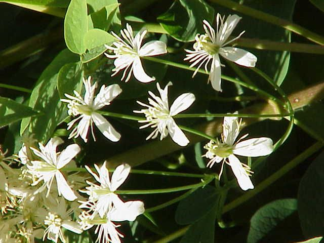 Clematis recta,
