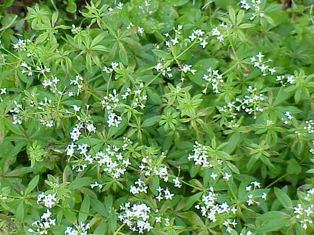 galium odoratum l scop sweetscented bedstraw. Black Bedroom Furniture Sets. Home Design Ideas