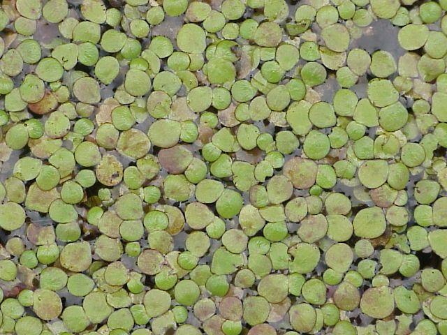 Lemna minor specie della flora italiana for Lenticchia d acqua