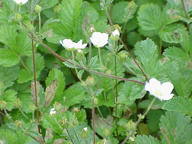 Potentilla fragiformis,