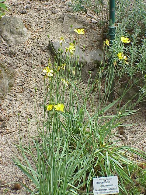 Ranunculus gramineus,