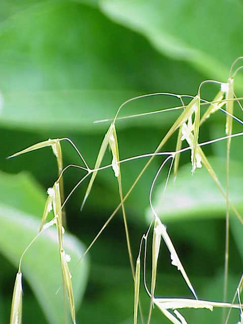 Stipa gigantea,