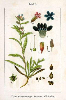 Anchusa officinalis -