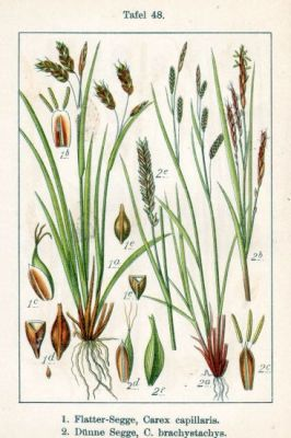 Carex brachystachys -