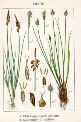 Carex capitata -