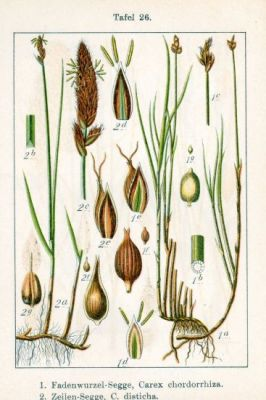 Carex disticha -
