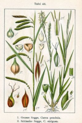 Carex strigosa -