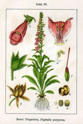 Digitalis purpurea -