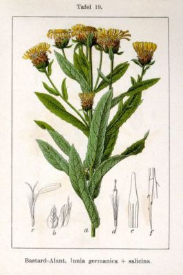 Inula germanica -
