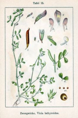 Vicia lathyroides -