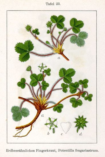 Potentilla fragariastrum