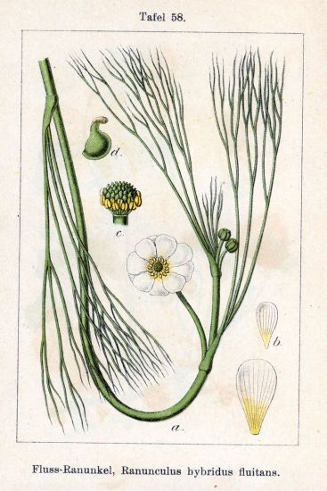 Ranunculus hybridus fluitans