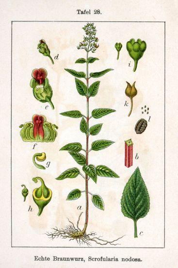 Belar Beltza (Scrofularia nodosa) Scrofularia-nodosa-0965
