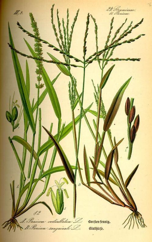 Digitaria sanguinalis,