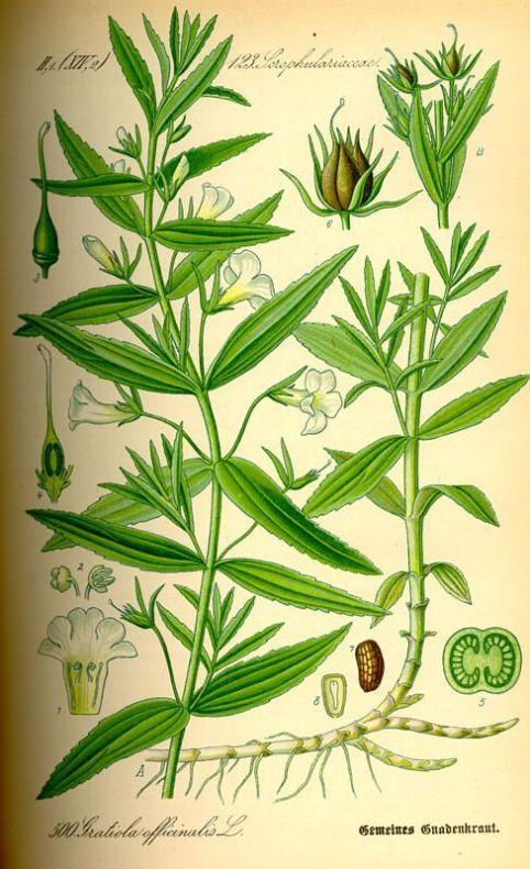 thome00213-gratiola-officinalis Gratiola officinalis