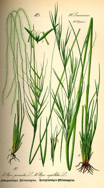 Stipa capillata,